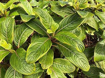 kanawao plant