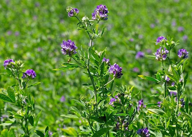 Alfalfa Image.jpg