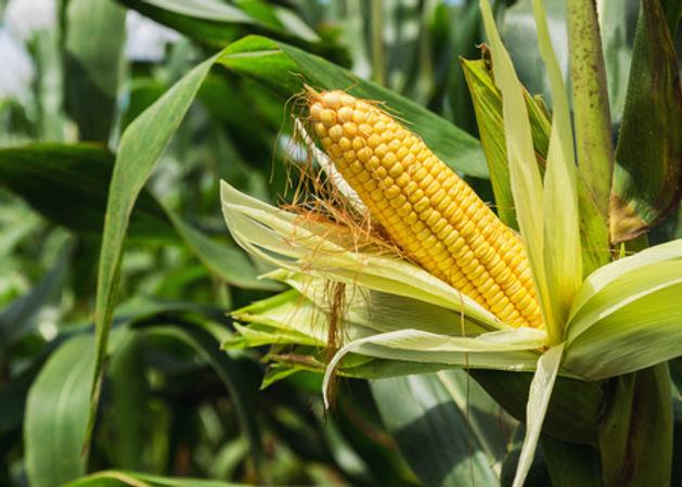 Corn Image.jpg