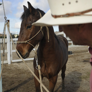 TAMING AND TRAINING OF A WILD MUSTANG