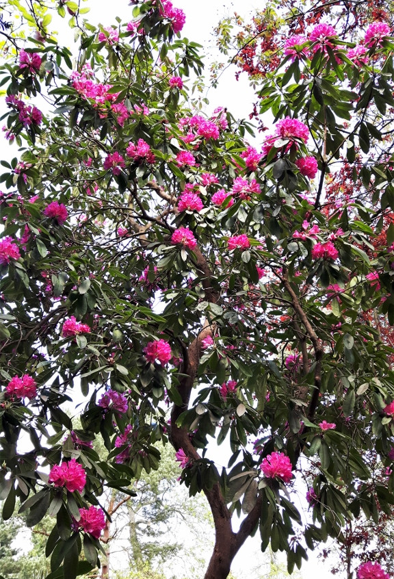 4. Rhododendron