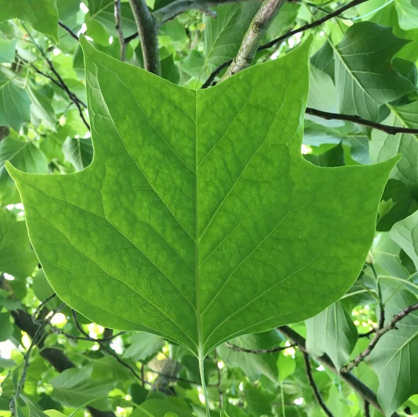 27. Tulip Tree Leaf (1024x1024)