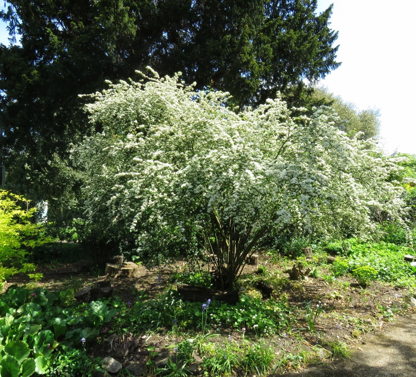 29. Cotoneaster