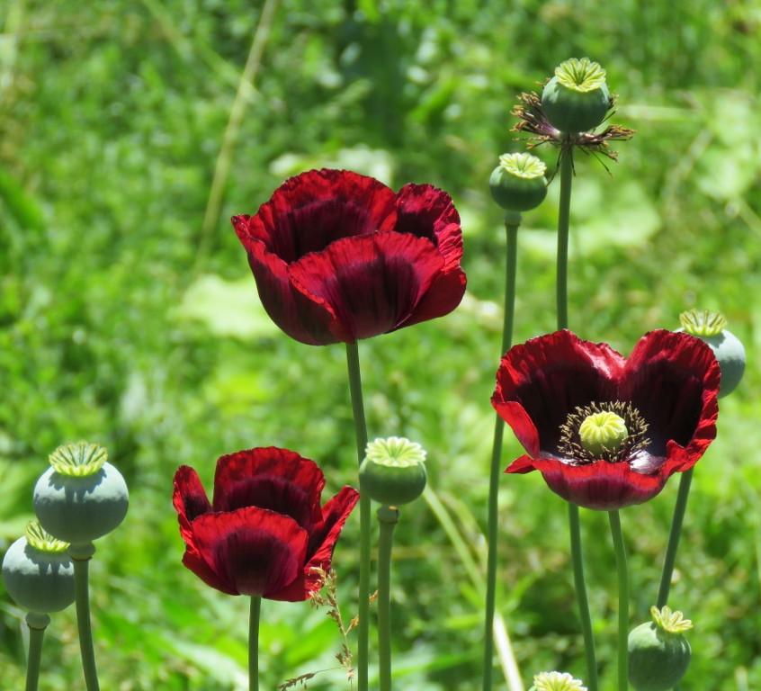 30. Poppies (1024x768)