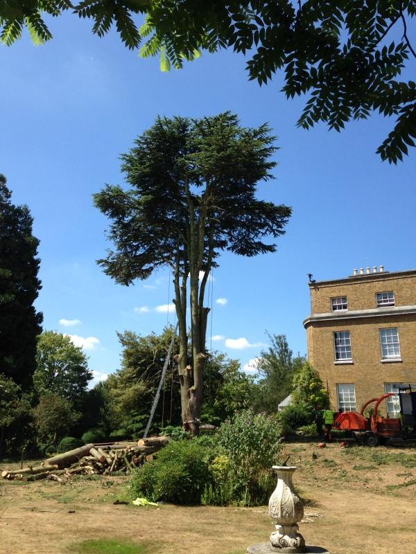 20. Cedar Tree - 5.7.17