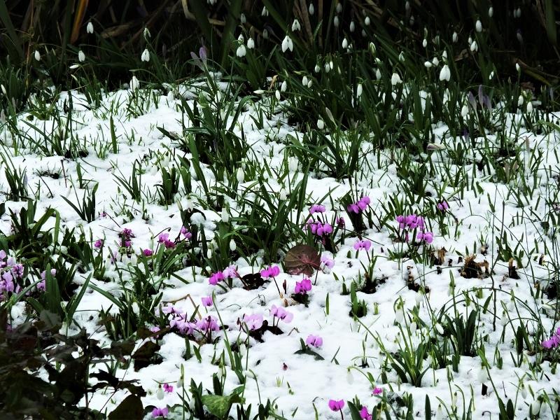 5. Cyclamen & Snowdrops(1)