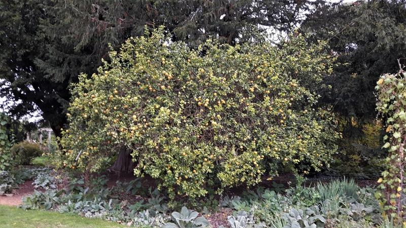 28. Citrus trifoliata