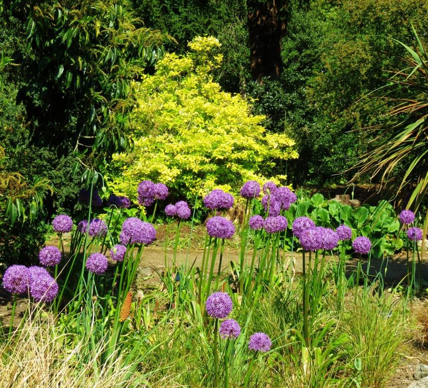 30. Alliums