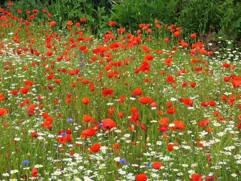 12. Poppies