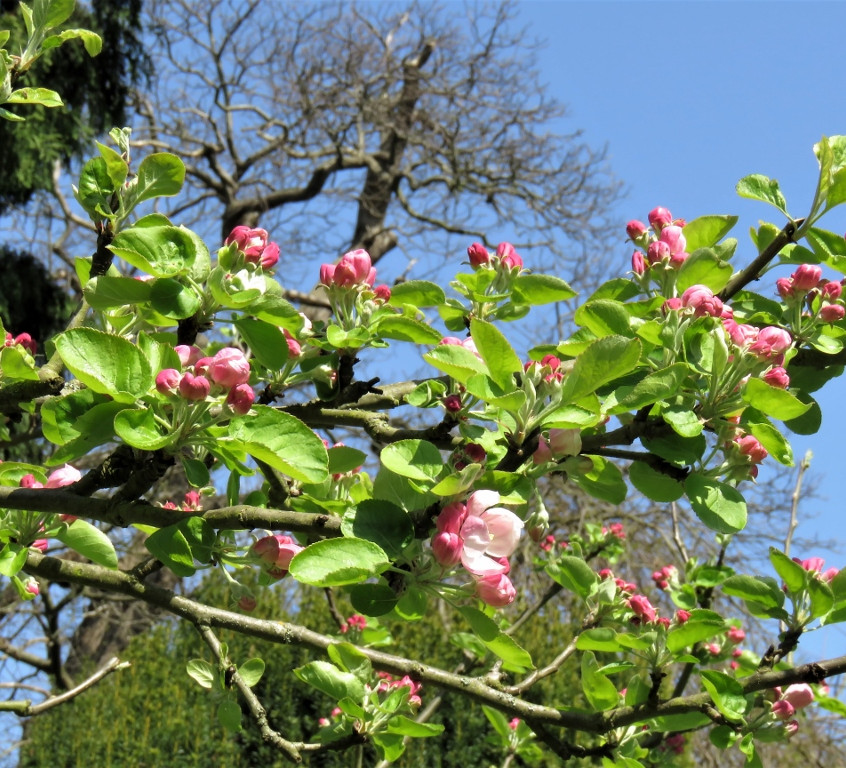 12. Apple Blossom