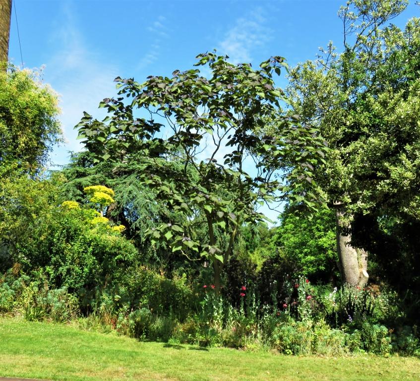 24. Indian Bean Tree (1024x768)