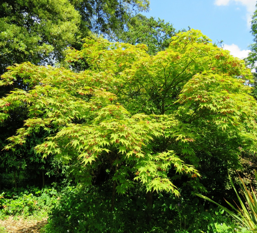 22. Acer palmatum