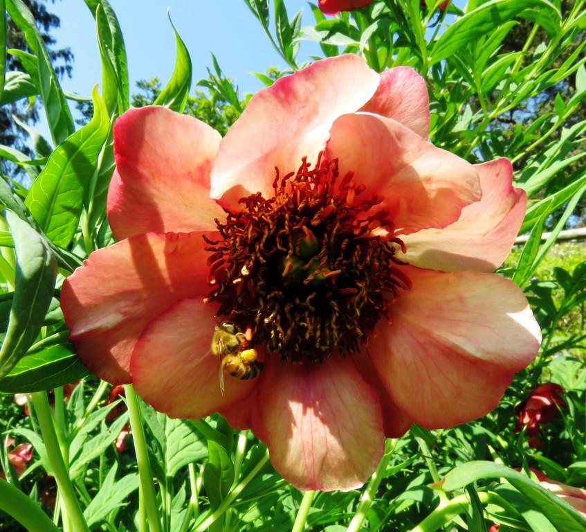 25. Tree Peony flower