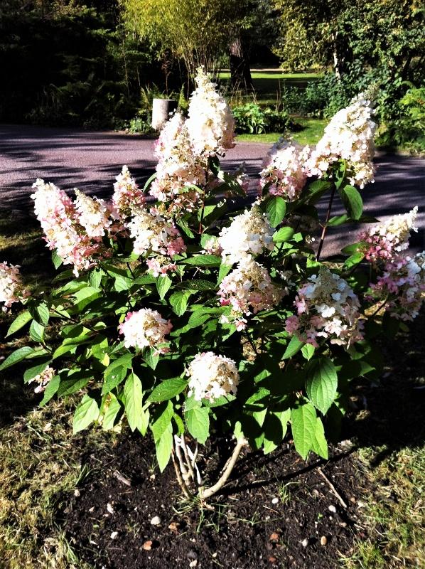 23. Hydrangea panniculata