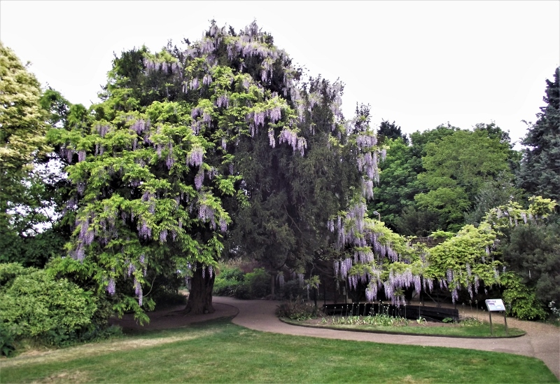 8. Wisteria - May 2011