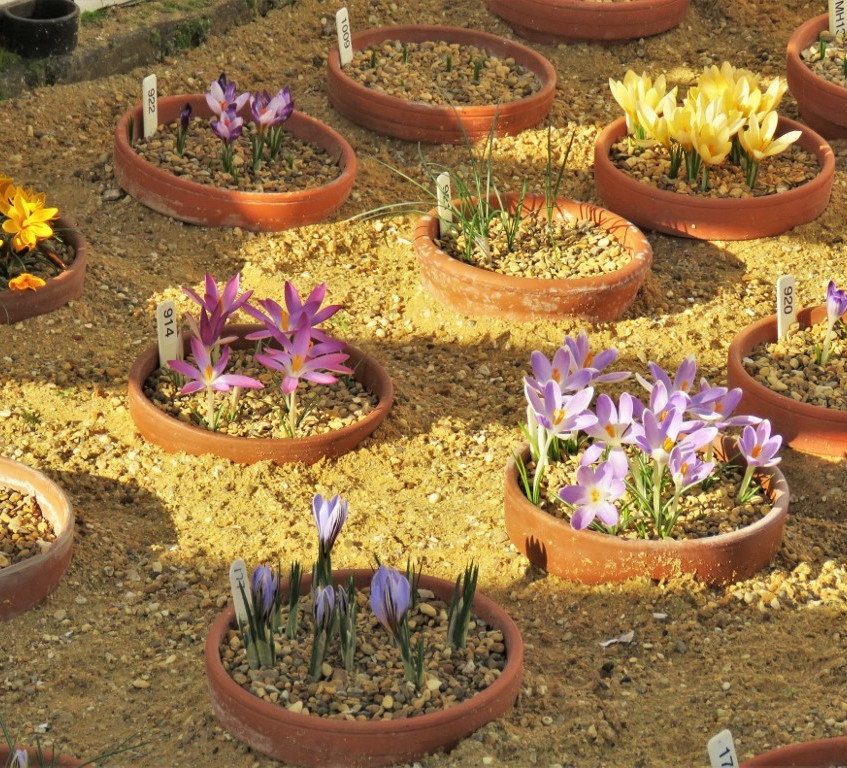 2. Crocus Collection