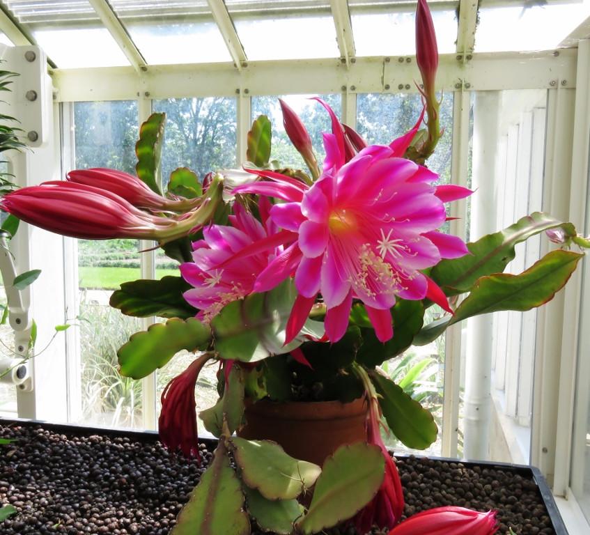 18. Epiphyllum