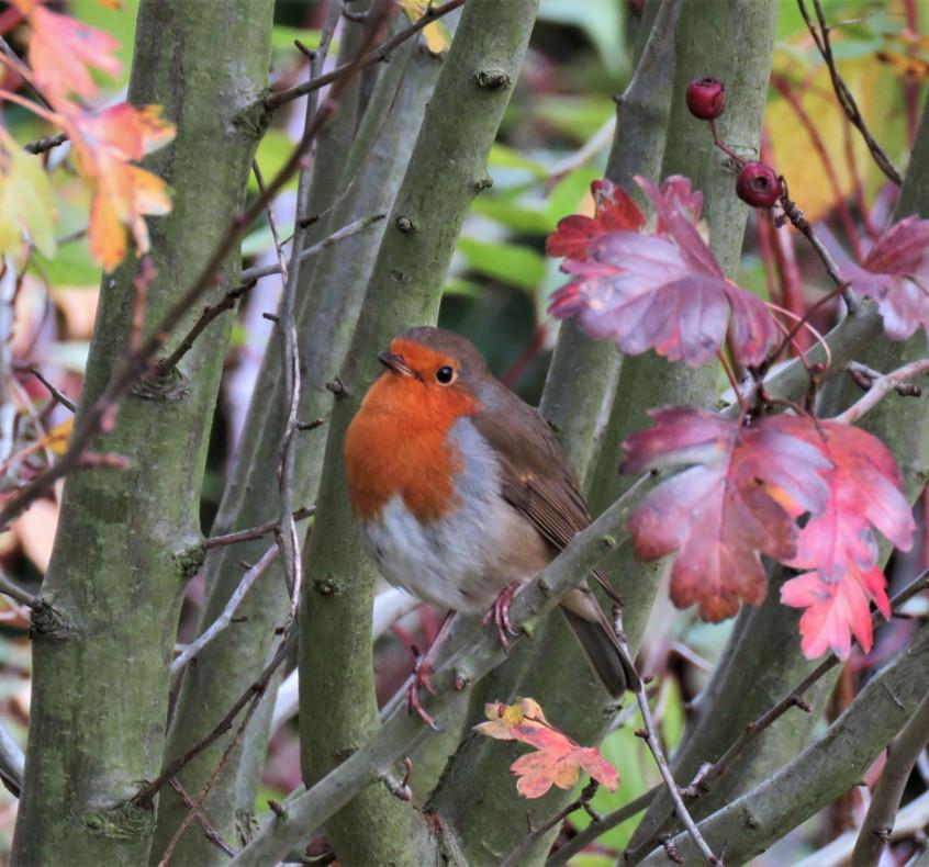 12. Robin