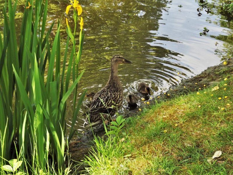 20. Mallard with ducklings