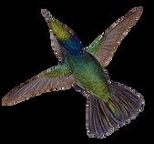 kolibri-ani.png