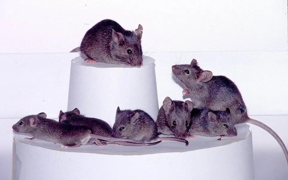Những thế hệ chuột thí nghiệm như thế này gần đây đã trở thành vật chủ của những bầy robot siêu nhỏ. Ảnh: Getty Images (Ảnh: Gerry Images)