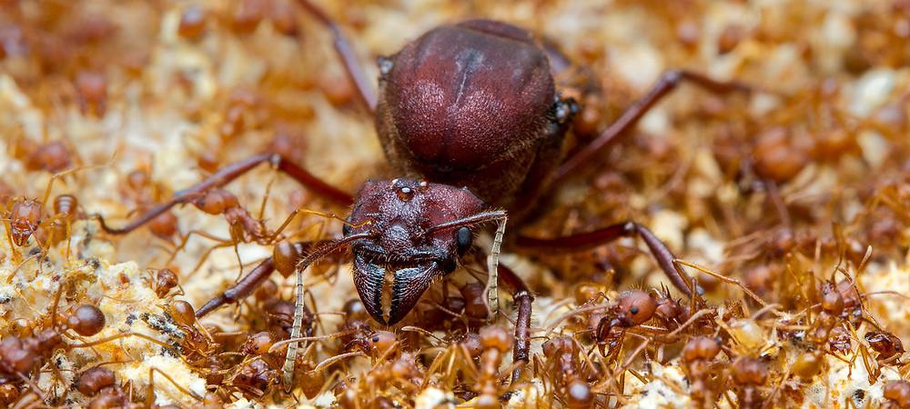 Với chiều cao gần 2 cm, kiến chúa của loài kiến ăn lá Texas (Atta texana) lớn hơn nhiều so với những con kiến của mình. Cá thể này cũng có tuổi thọ cao hơn. Ảnh: ALEX WILD