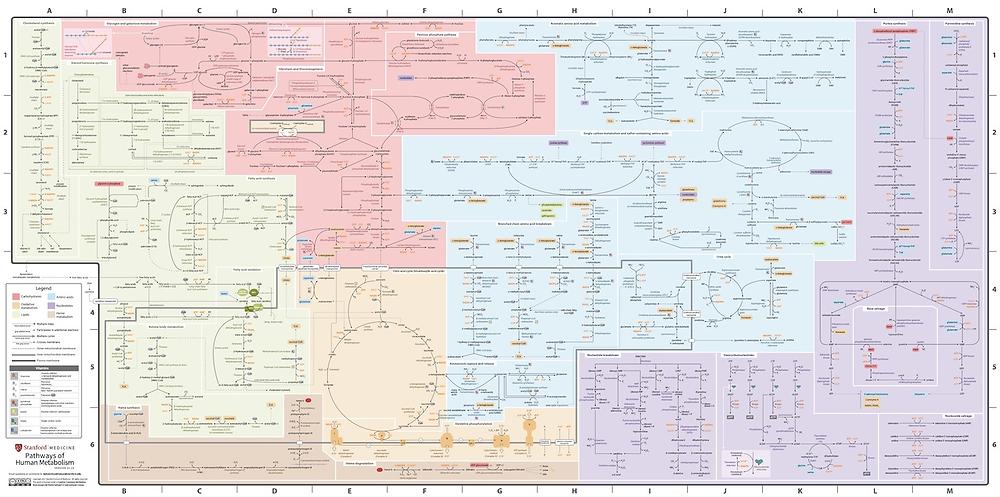 Một 'bản đồ tàu điện ngầm' về sự trao đổi chất của con người. Đối với mục đích của bài này, các phần quan trọng là sự trao đổi chất của ba chất dinh dưỡng đa lượng (xanh: lipit, đỏ: carbohydrate, xanh: axit amin) và cam: nơi phép màu xảy ra - chuyển hóa oxy hóa, bao gồm chu trình axit citric, điện tử Chuỗi vận chuyển và ATP Synthase.