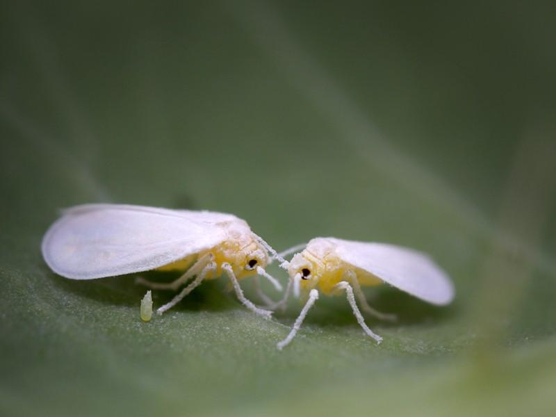 Một số loài ruồi trắng sử dụng gen thực vật để biến các chất độc trong thức ăn của chúng trở nên vô hại. Ảnh: Getty