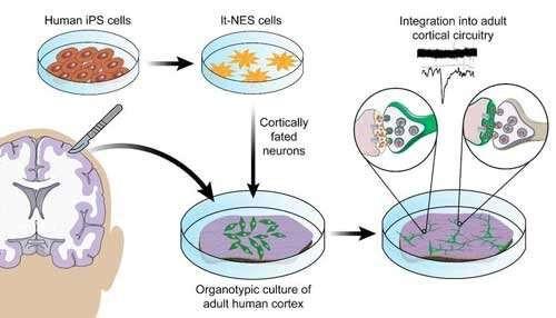 Tế bào gốc giống biểu mô thần kinh (lt-NES) có cấu trúc hóa học