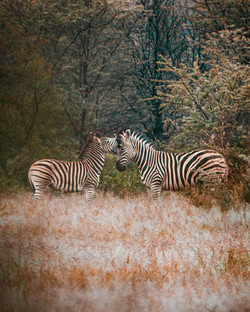 Zebra (1 of 1)
