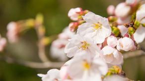 桜の花と悲しみからの癒し