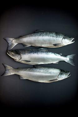 Pristine Pacific Ocean Salmon
