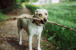 dog fetching stick