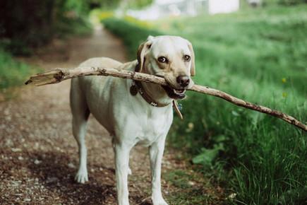 Champ Fetching a Stick