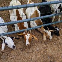 Tick-Control-Easton-Silvermans-Farm-goat