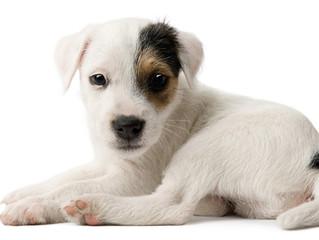 Five Ways Ticks Affect Dogs