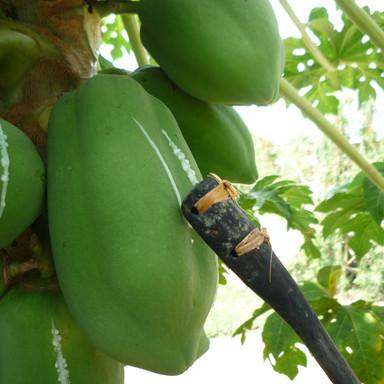 1. scoring papaya.JPG