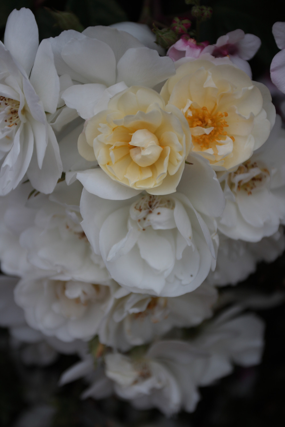 baby white old-fashioned garden roses