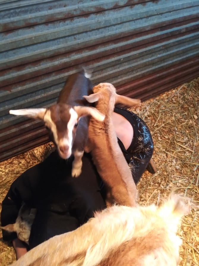 Yoga with Goats is back!!