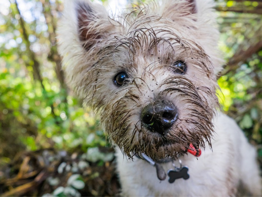Dog Grooming For Dummies - Why is Grooming Important and What Should I Be Aware Of?