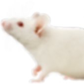 images-of-white-mice-5_edited.png
