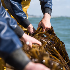Récolte de nos algues en pleine mer.