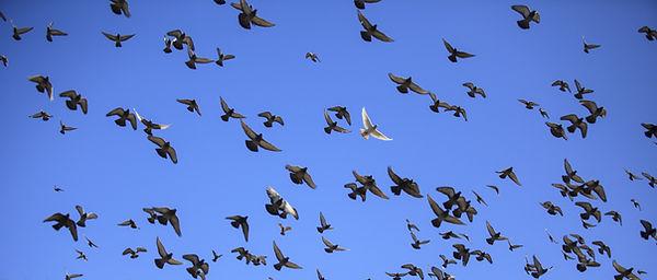 duiven.jpg