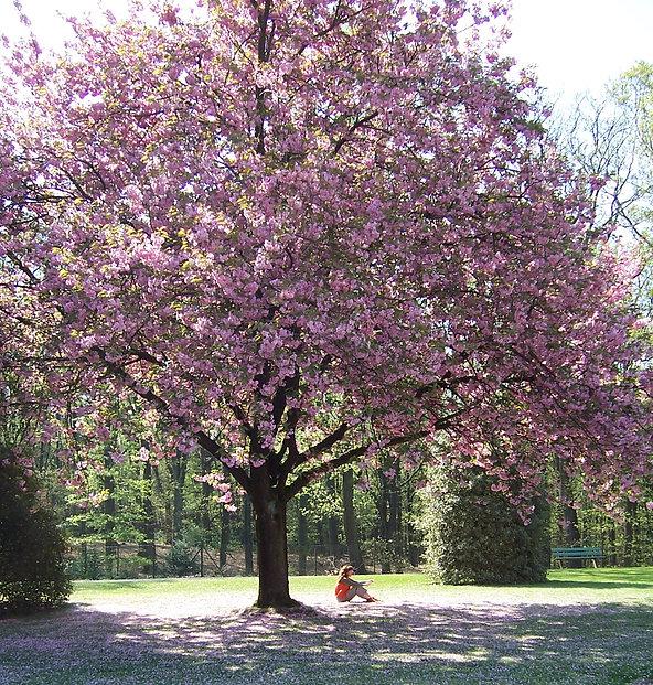 bloesemboom.a.jpg