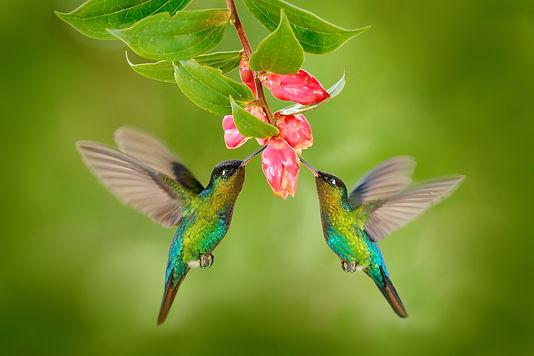 twee kolibrie nei .jpg