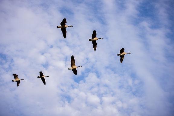 vogels in formatie ordening sys werken .