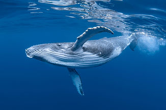 A Baby Humpback Whale Plays Near the Sur