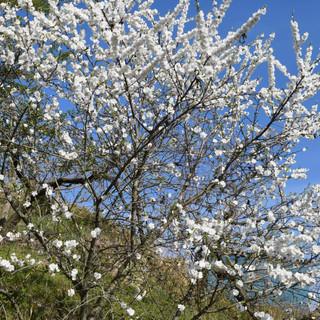 みがく農場の桃の花