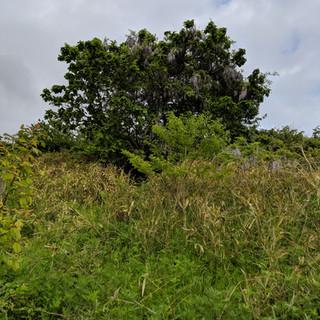 みがく農場の柏の木