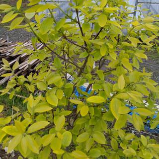 みがく農場の柿の木